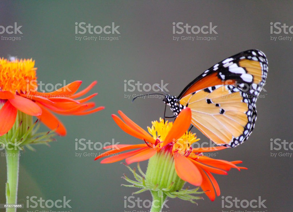 African Monarch butterfly on a flower stock photo