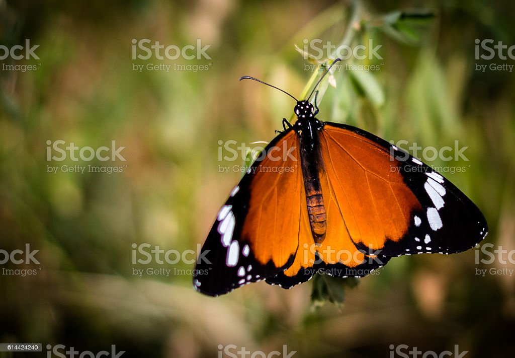 African Monarch Butterfly stock photo