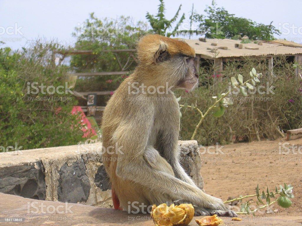 African Monkey royalty-free stock photo