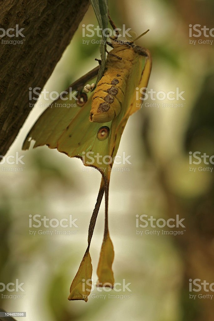 African moon moth Argema mimosae stock photo