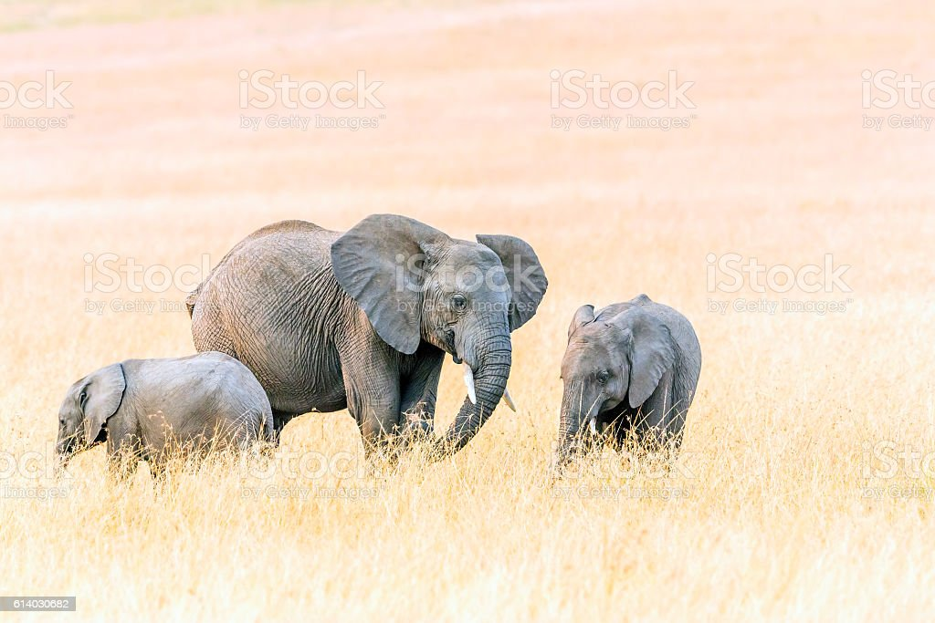 African Mother Elephant and babies stock photo