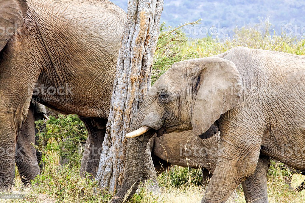 African Mother Elephant and baby stock photo