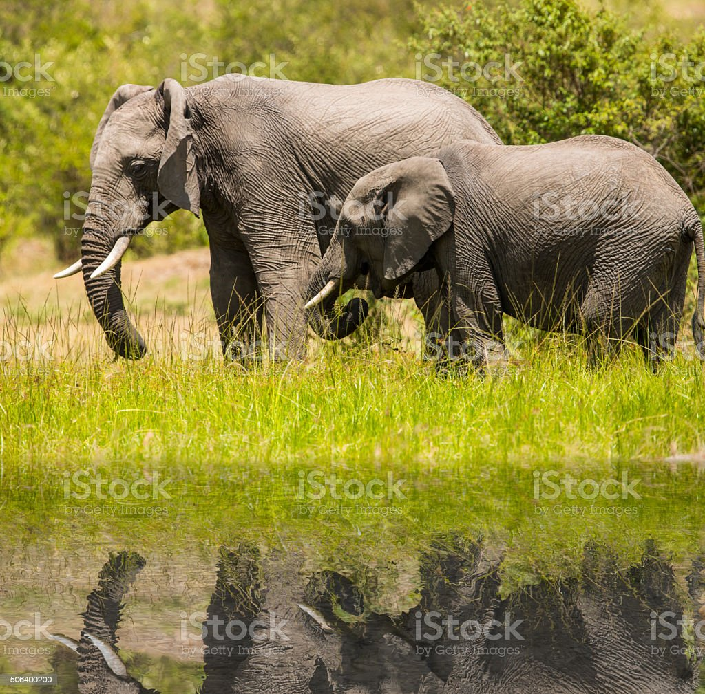 African Mother Elephant and baby - reflection stock photo