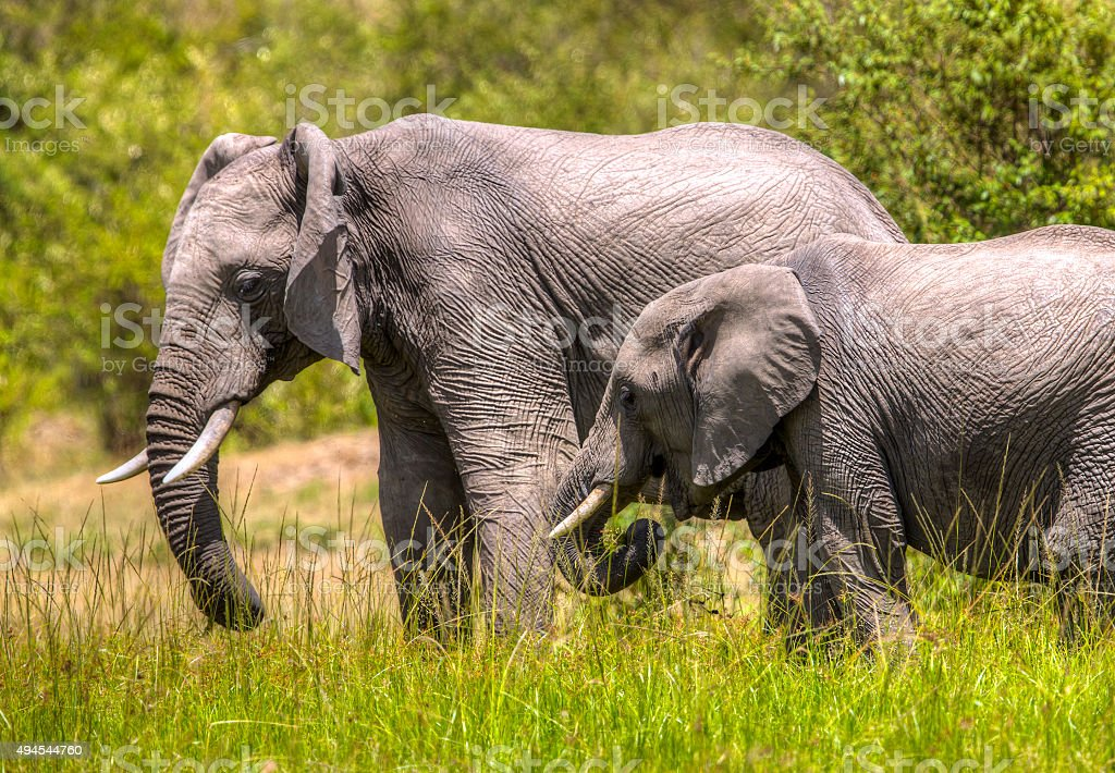 African Mother Elephant and baby - skin stock photo