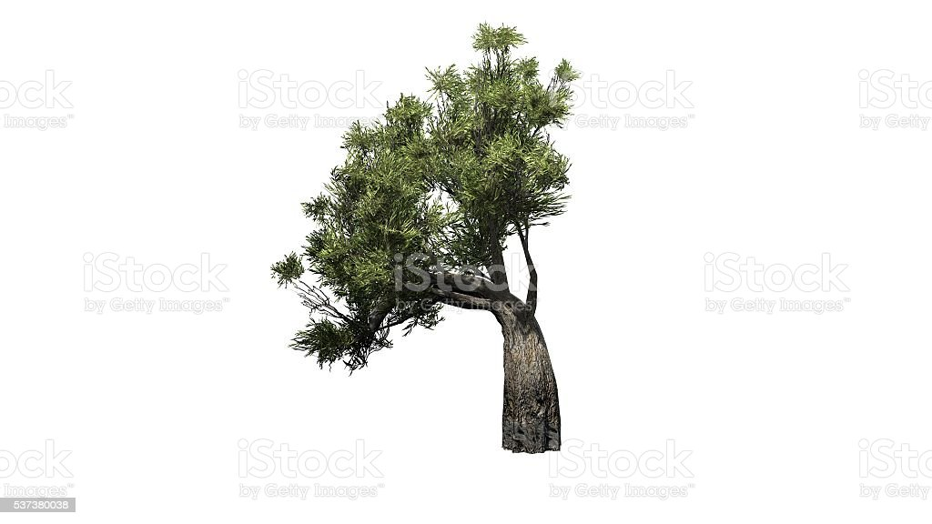 african olive tree - isolated on white background stock photo