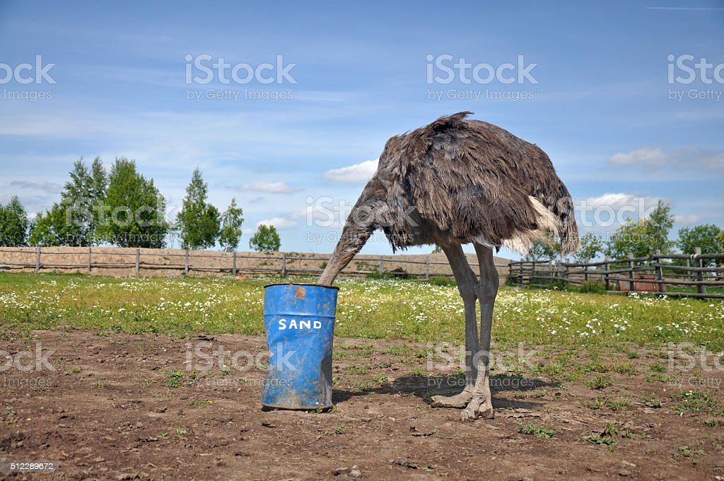 African ostrich hiding its head in the sand stock photo