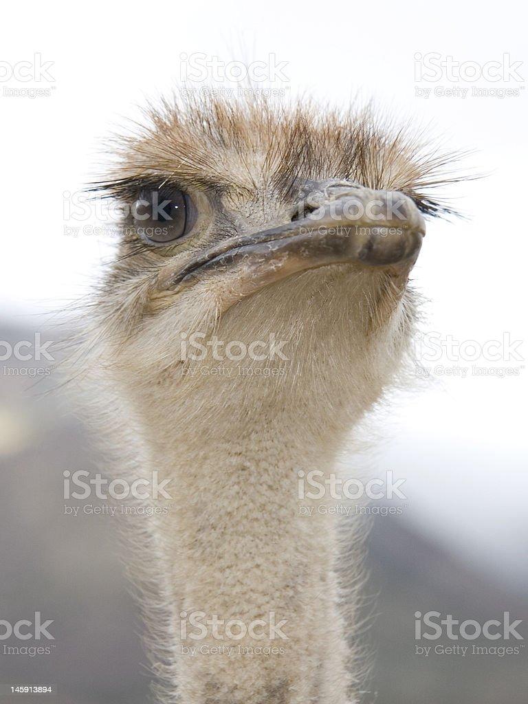 African avestruz foto de stock libre de derechos