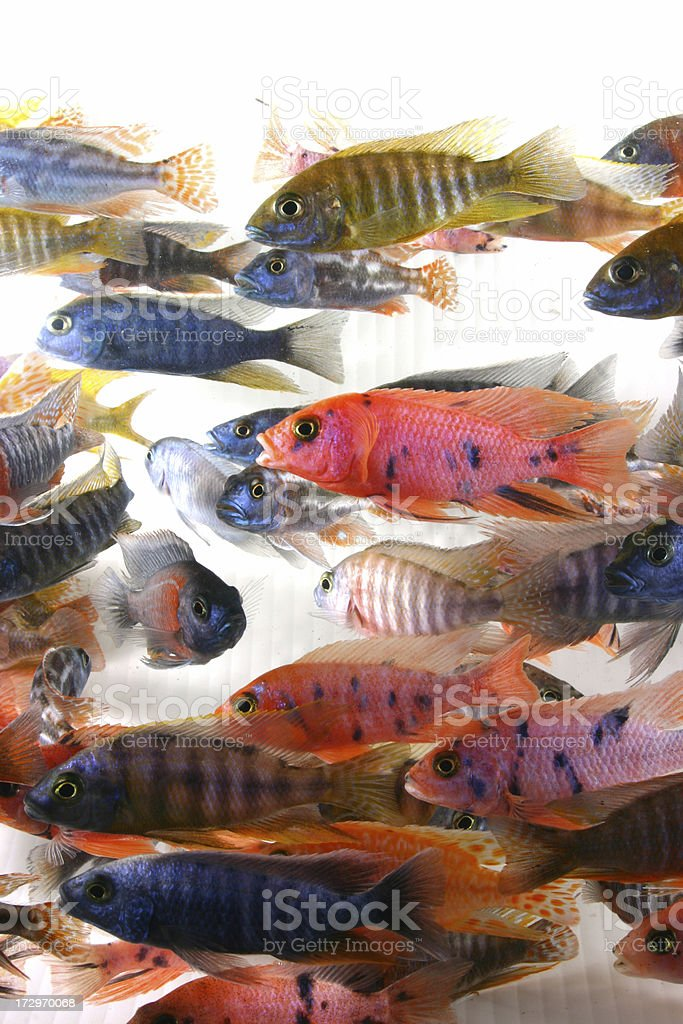 african peacock cichlids stock photo