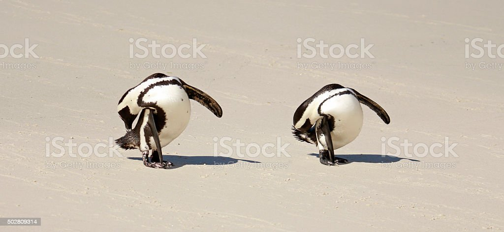 African Penguin cleaning stock photo