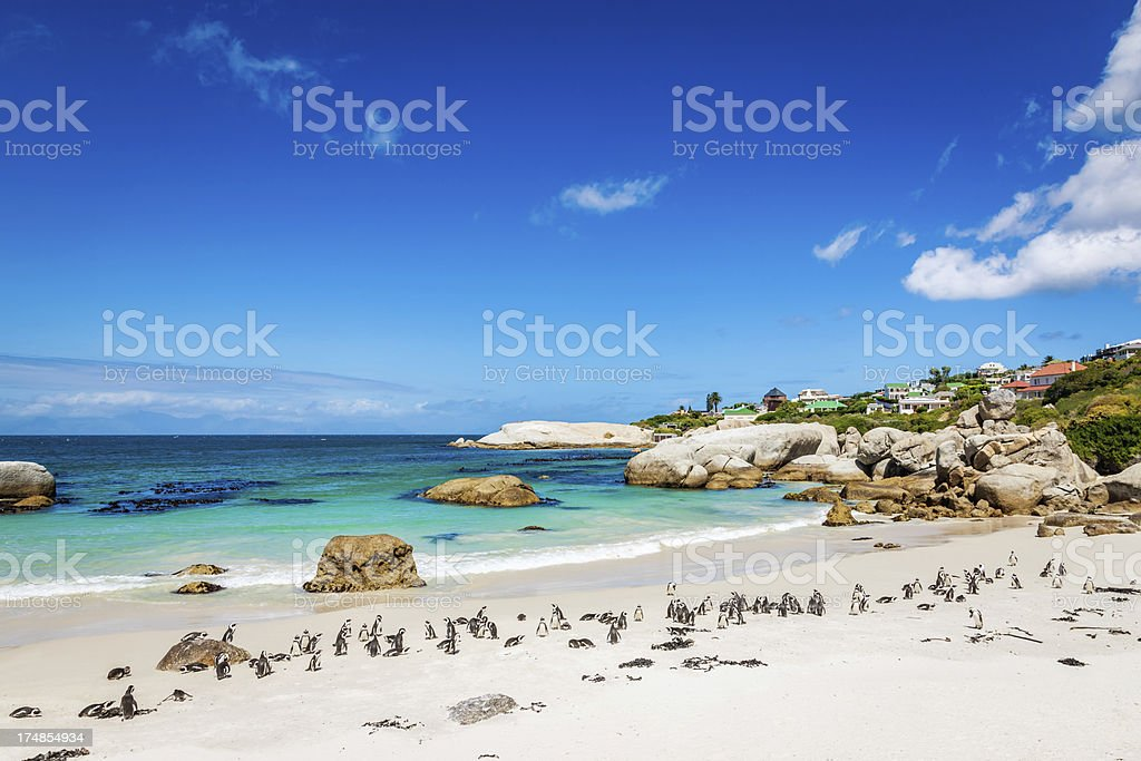 African Penguin Colony at Beach,Cape Town South Africa stock photo