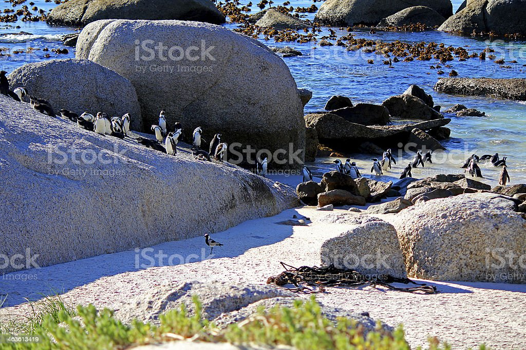 African Penguin colony stock photo