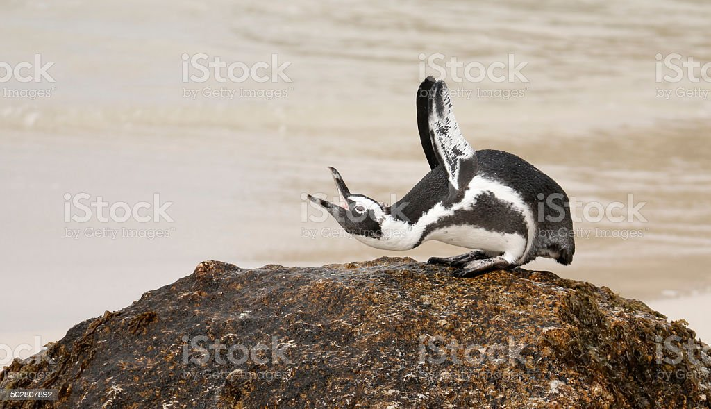 African Penguin displaying stock photo