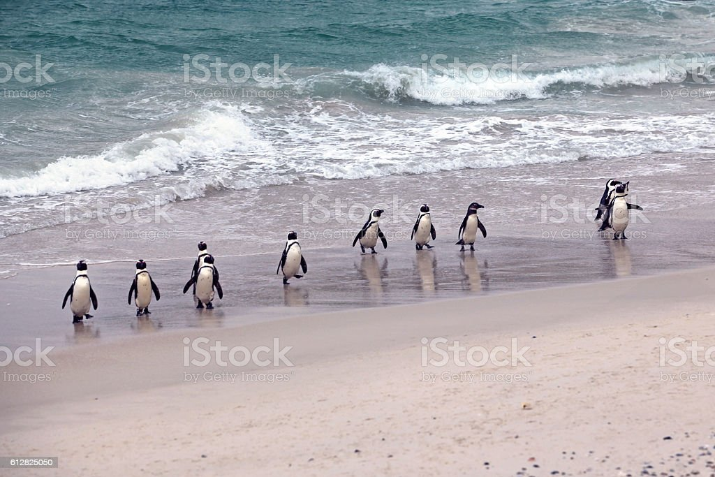 African Penguin Group emerging from the ocean Boulders Beach stock photo