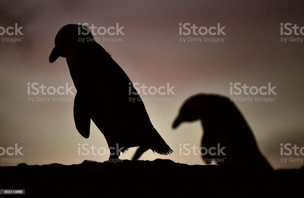 African penguin in twilights stock photo