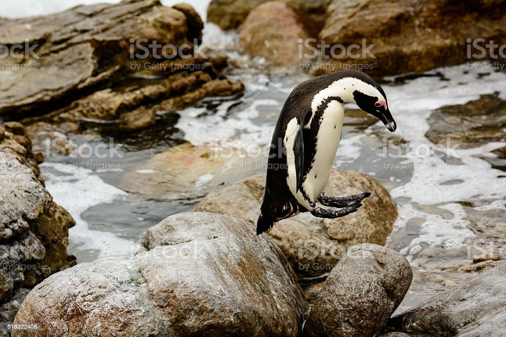 African penguin jumping from rock to rock stock photo