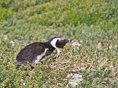 African penguin lying down on the ground