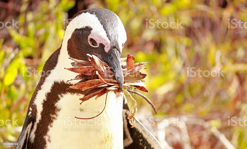 African Penguin nesting stock photo