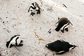 African Penguin (Spheniscus demersus) On beach, Boulders Beach,