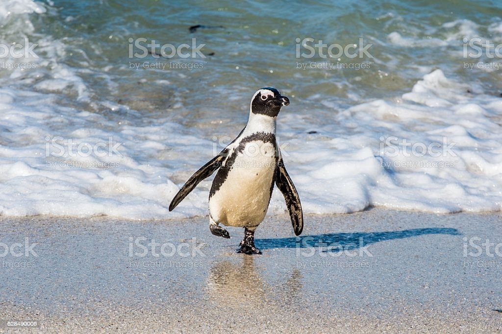 African penguin on the sandy beach. stock photo