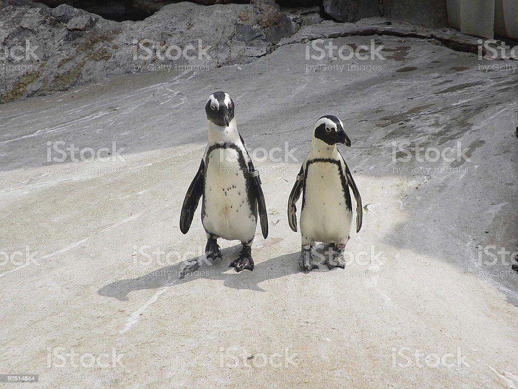 African Penguin Pair royalty-free stock photo