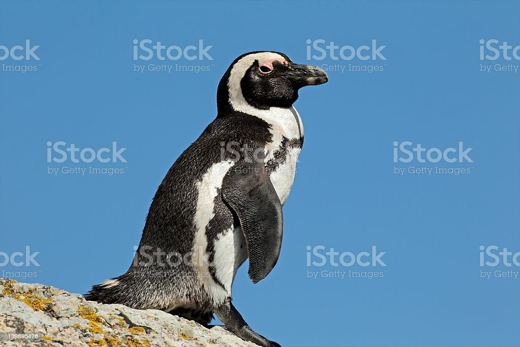 African penguin royalty-free stock photo