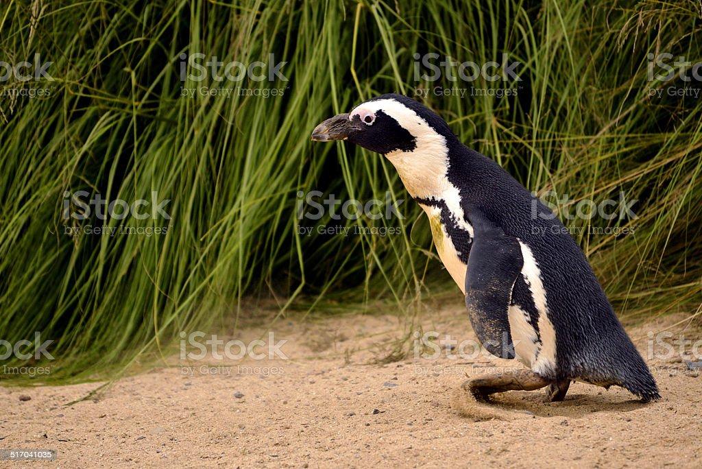 African penguin stock photo