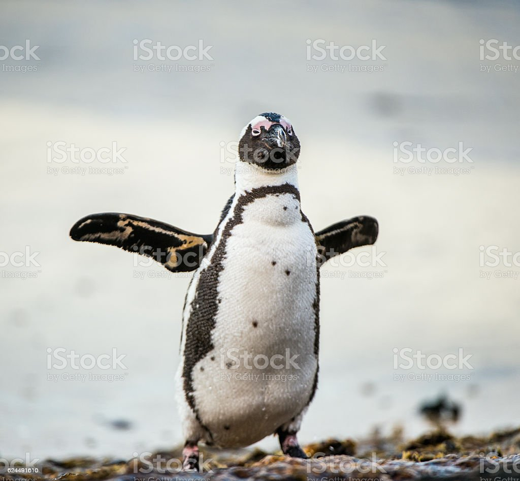 African penguin stock photo