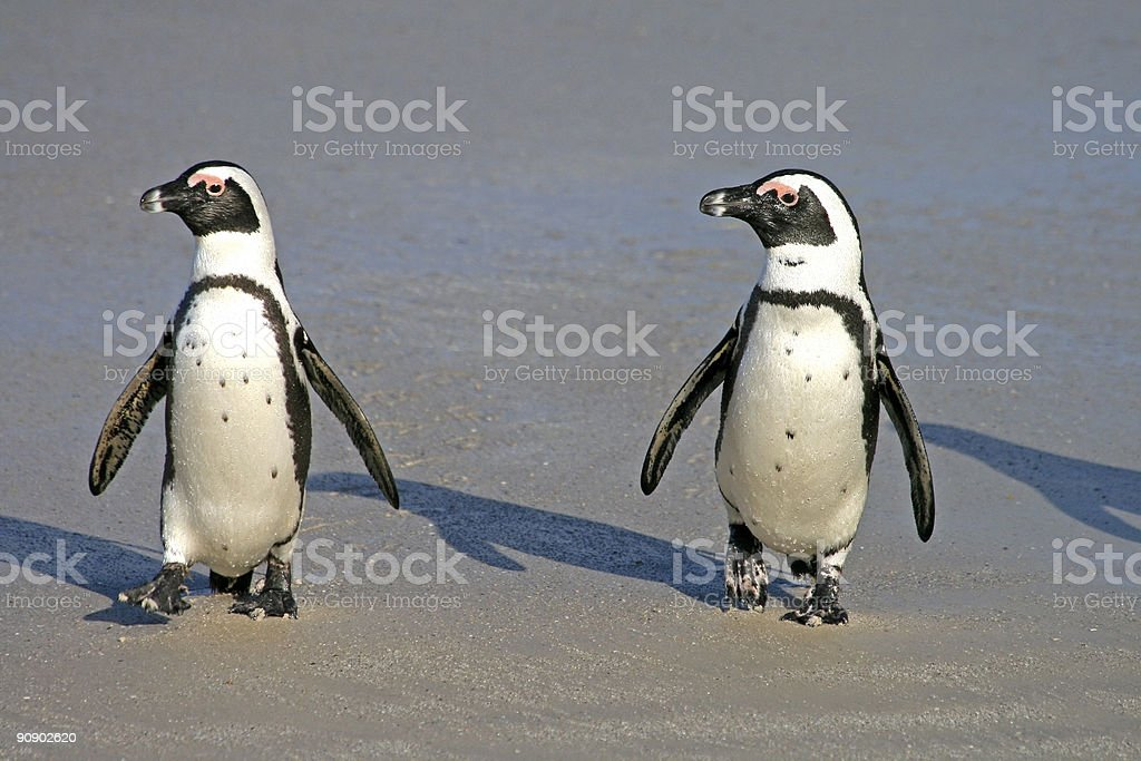 African Penguins at Boulders Beach in Cape Town, South Africa stock photo