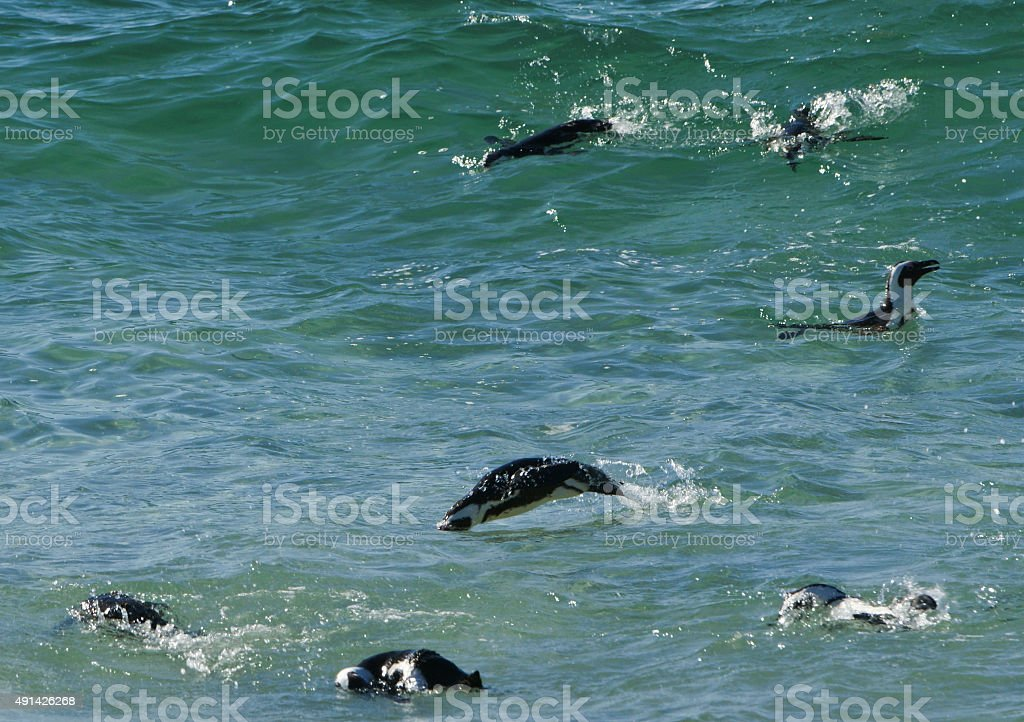 African Penguins at Boulders Beach in South Africa stock photo