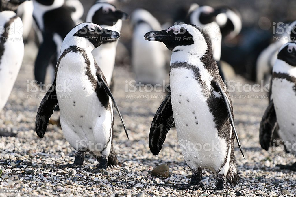 African Penguins at Robben Island stock photo