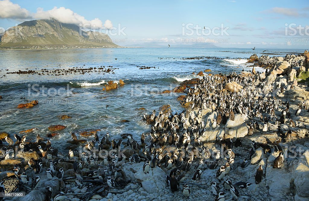 African penguins in Betty's bay stock photo