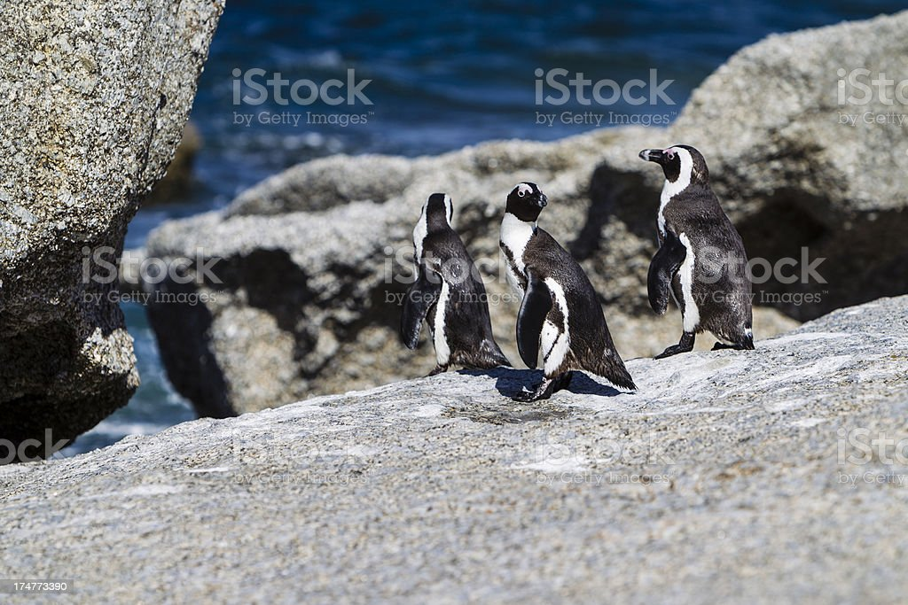African Penguins in Boulders Beach, Cape Town, South Africa royalty-free stock photo