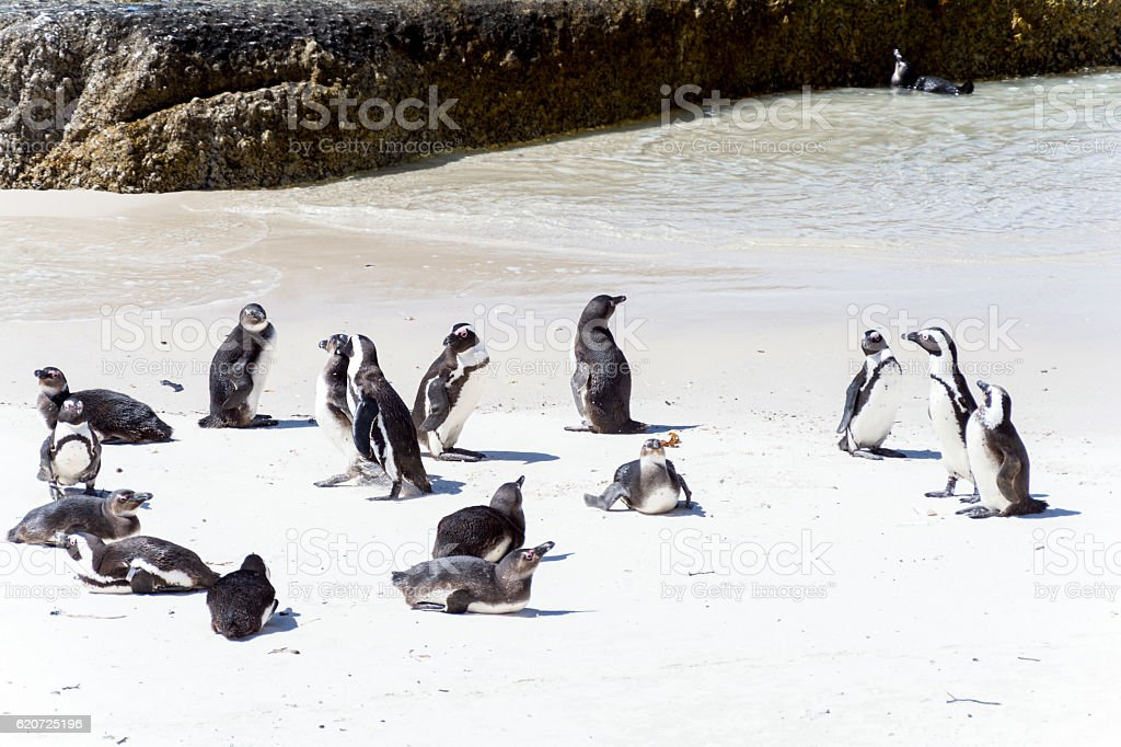 African Penguins in Simons Town, South Africa stock photo