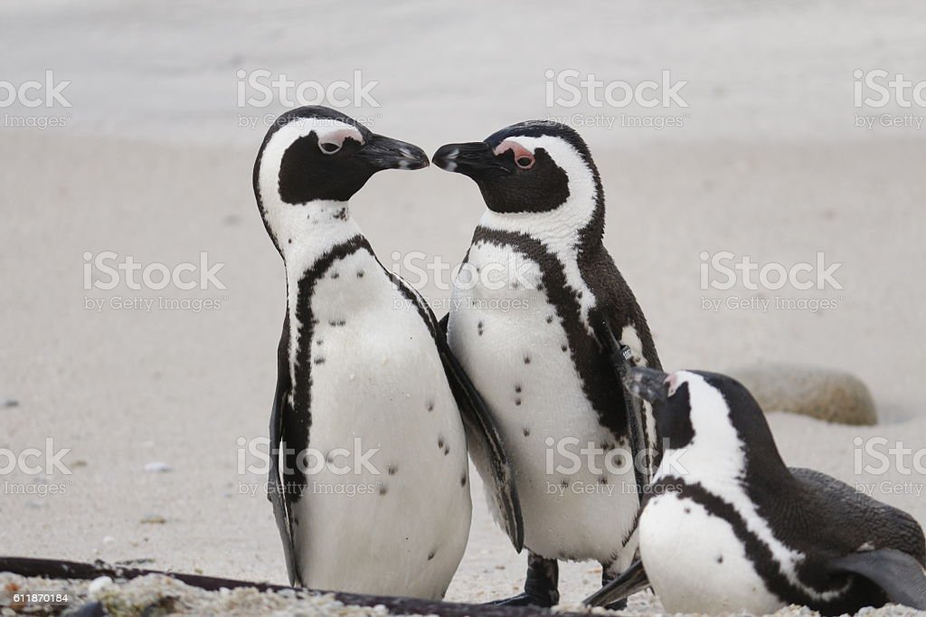 African penguins kissing boulders beach cape town mating pair parents stock photo