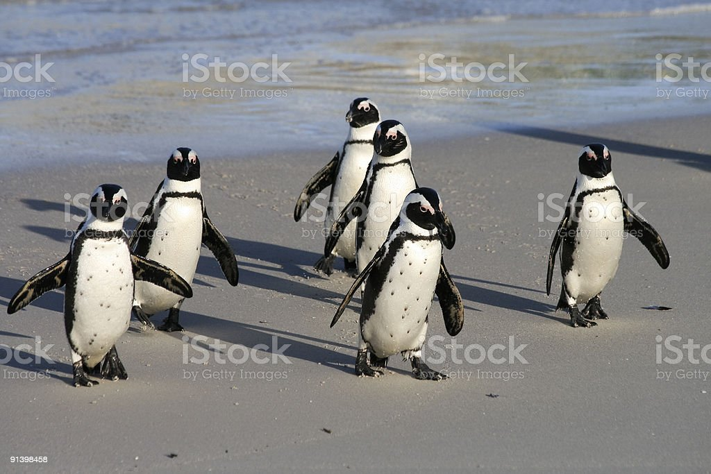 African Penguins on Boulders Beach in Cape Town, South Africa royalty-free stock photo