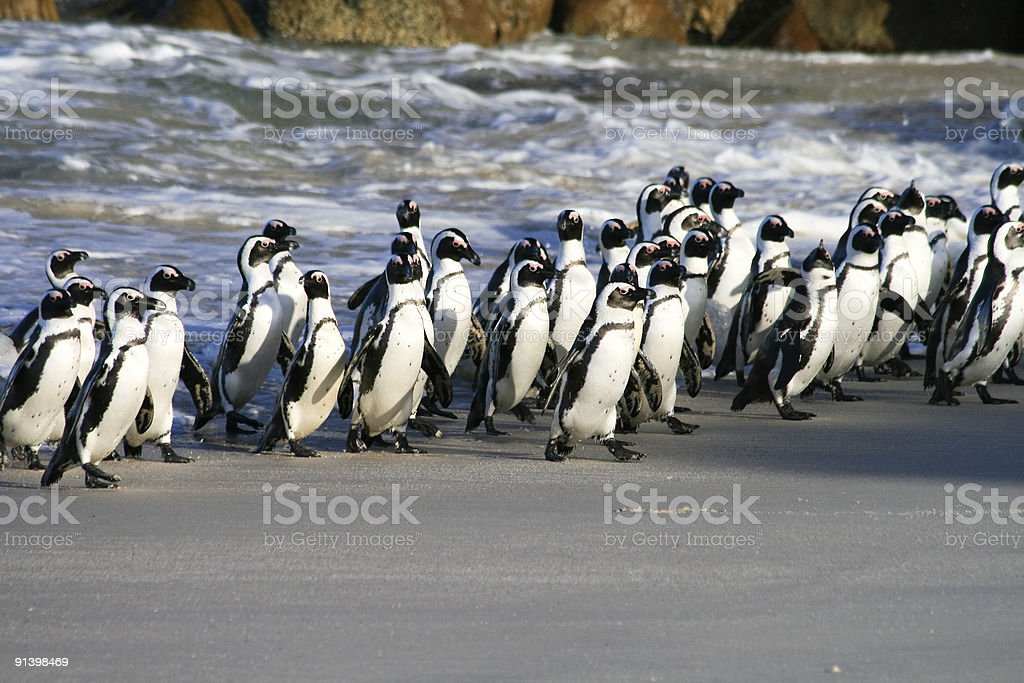 African Penguins on Boulders Beach in Cape Town, South Africa stock photo