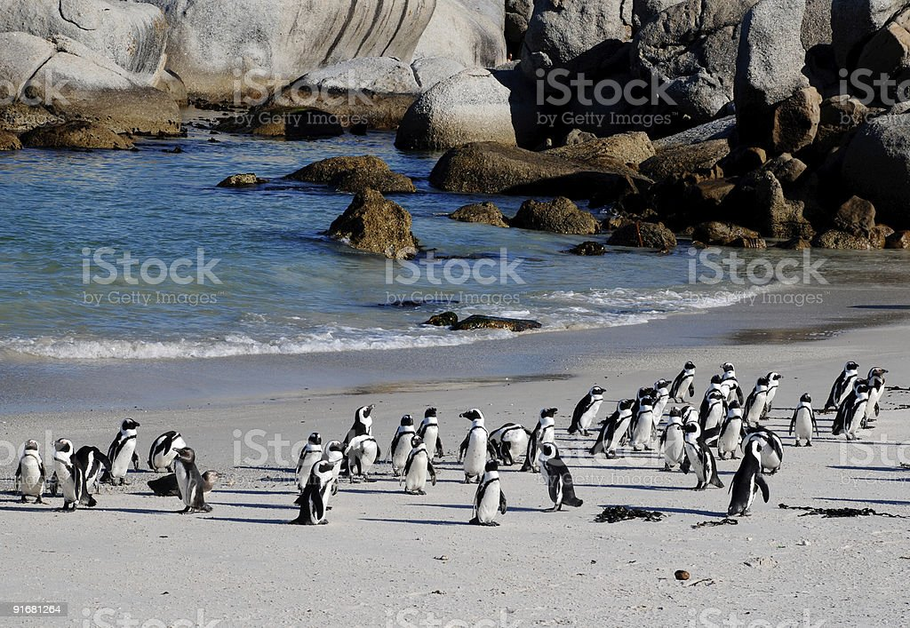 african penguins on the beach royalty-free stock photo