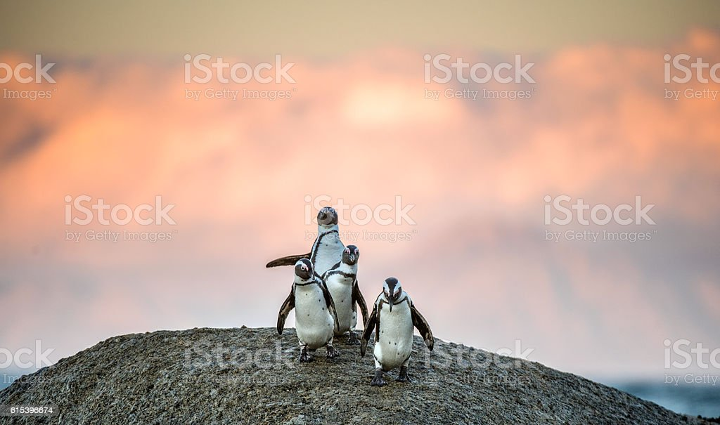 African penguins on the boulder in sunset stock photo
