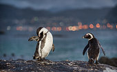 African penguins on the stone in twilight.