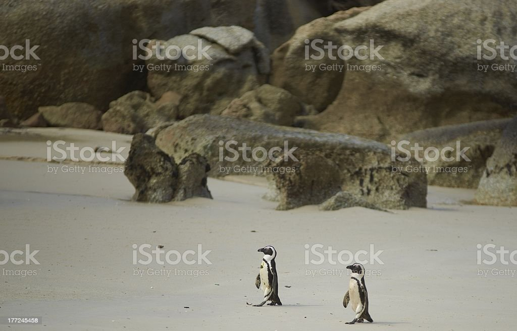 African Penguins royalty-free stock photo