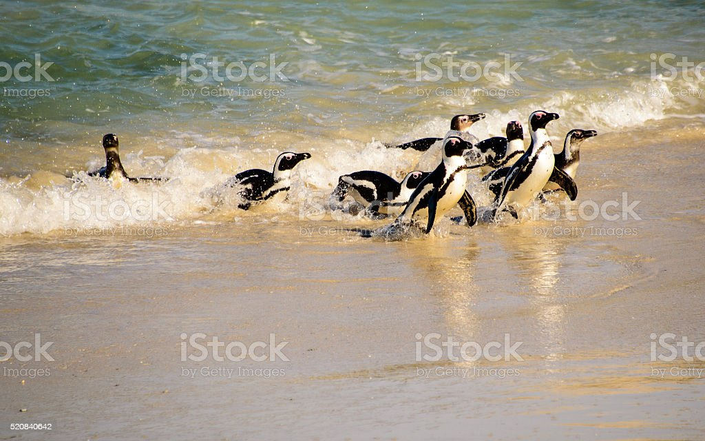African penguins reaching the shore line stock photo