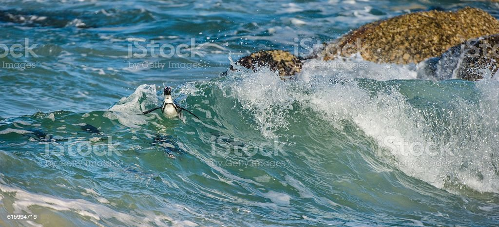 African penguins swim in the blue water stock photo