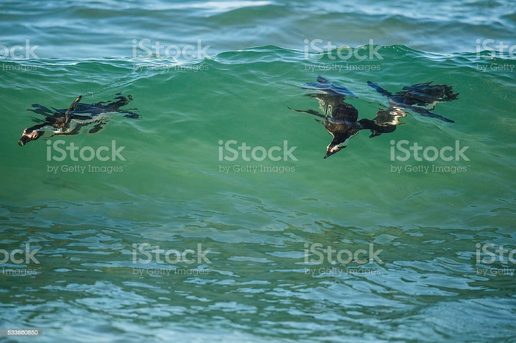 African penguins swimming in ocean wave. stock photo