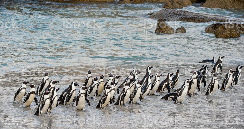 African penguins walk out of the ocean stock photo