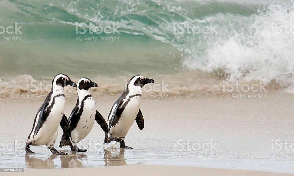 African Penguins walking in front of a wave stock photo