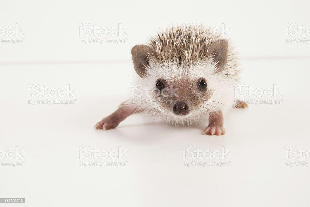 African pigmy hedgehog Baby stock photo