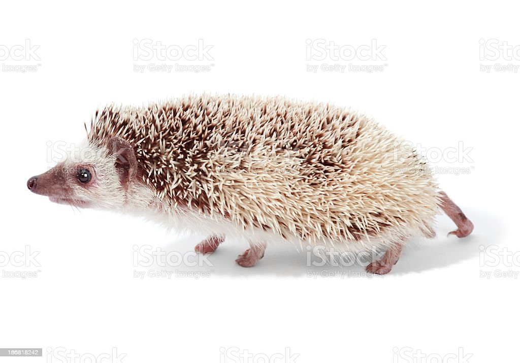 African pigmy hedgehog stock photo
