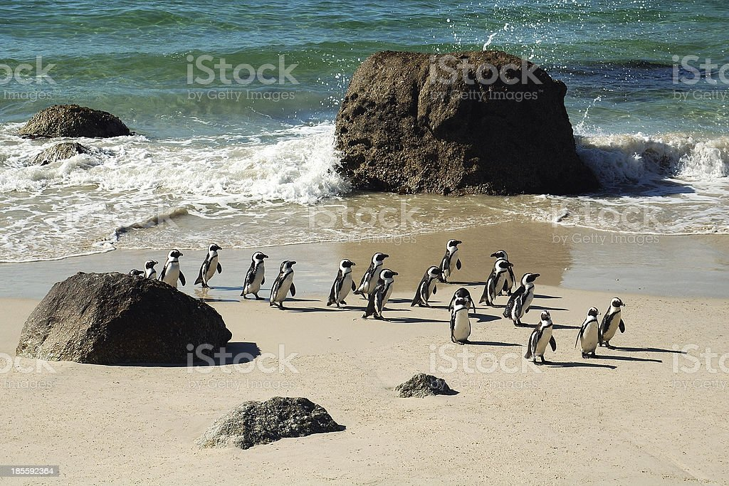 African pinguins at Boulders, South Africa stock photo