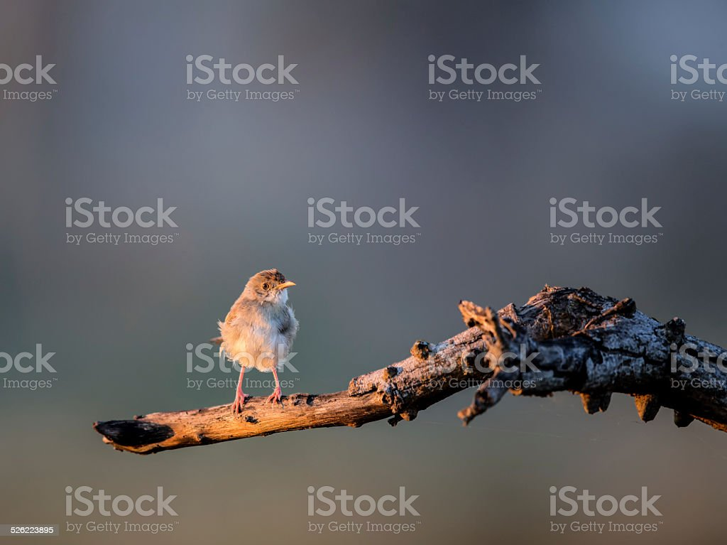 African Pipit perched in a tree stock photo