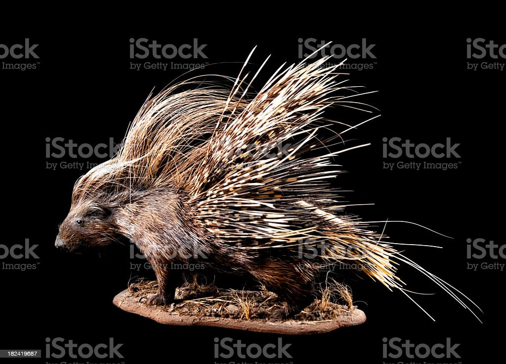 African porcupine on black background. stock photo